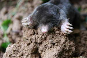 mole trapping in Lexington KY