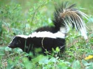 Striped Skunk with tail raised