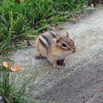 Chipmunk on a concrete curb