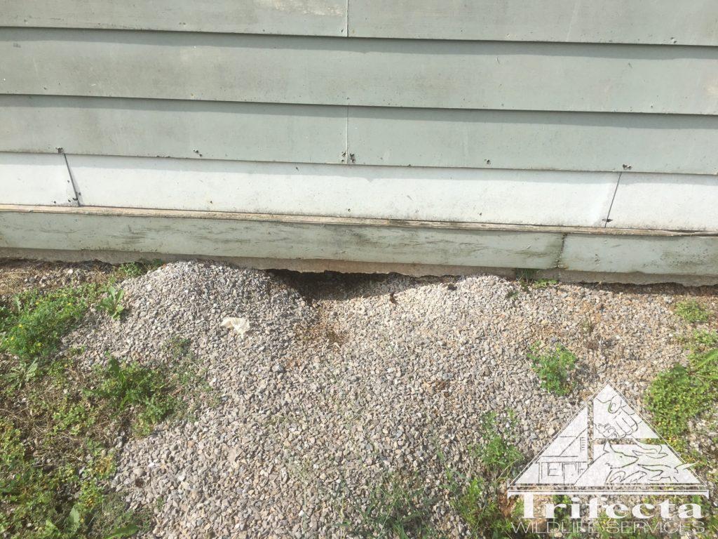 Groundhog burrow under the building's slab foundation