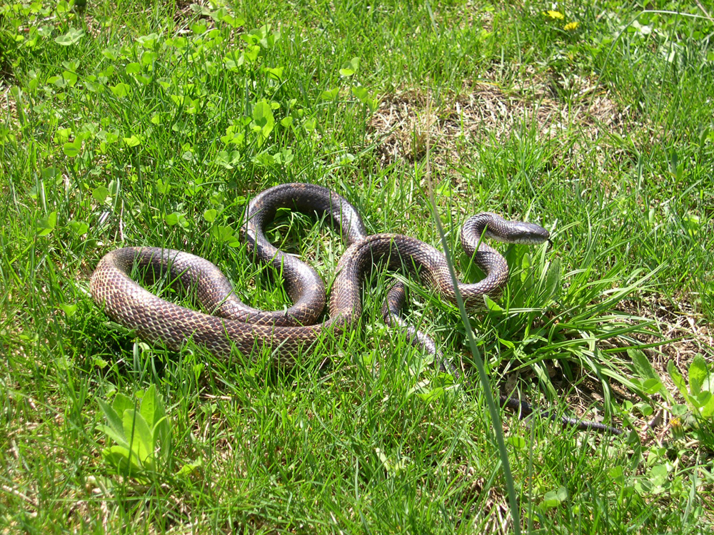 Black Snake removal in Lexington KY