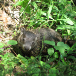 Groundhog in the vegetation