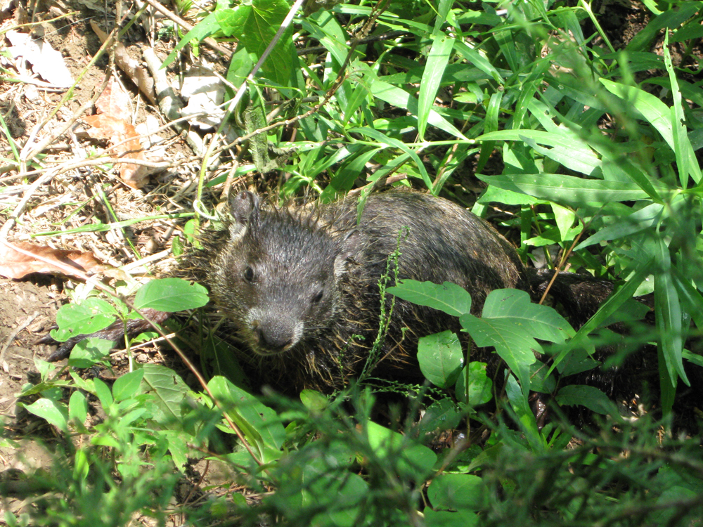 Groundhog trapping in Lexington KY