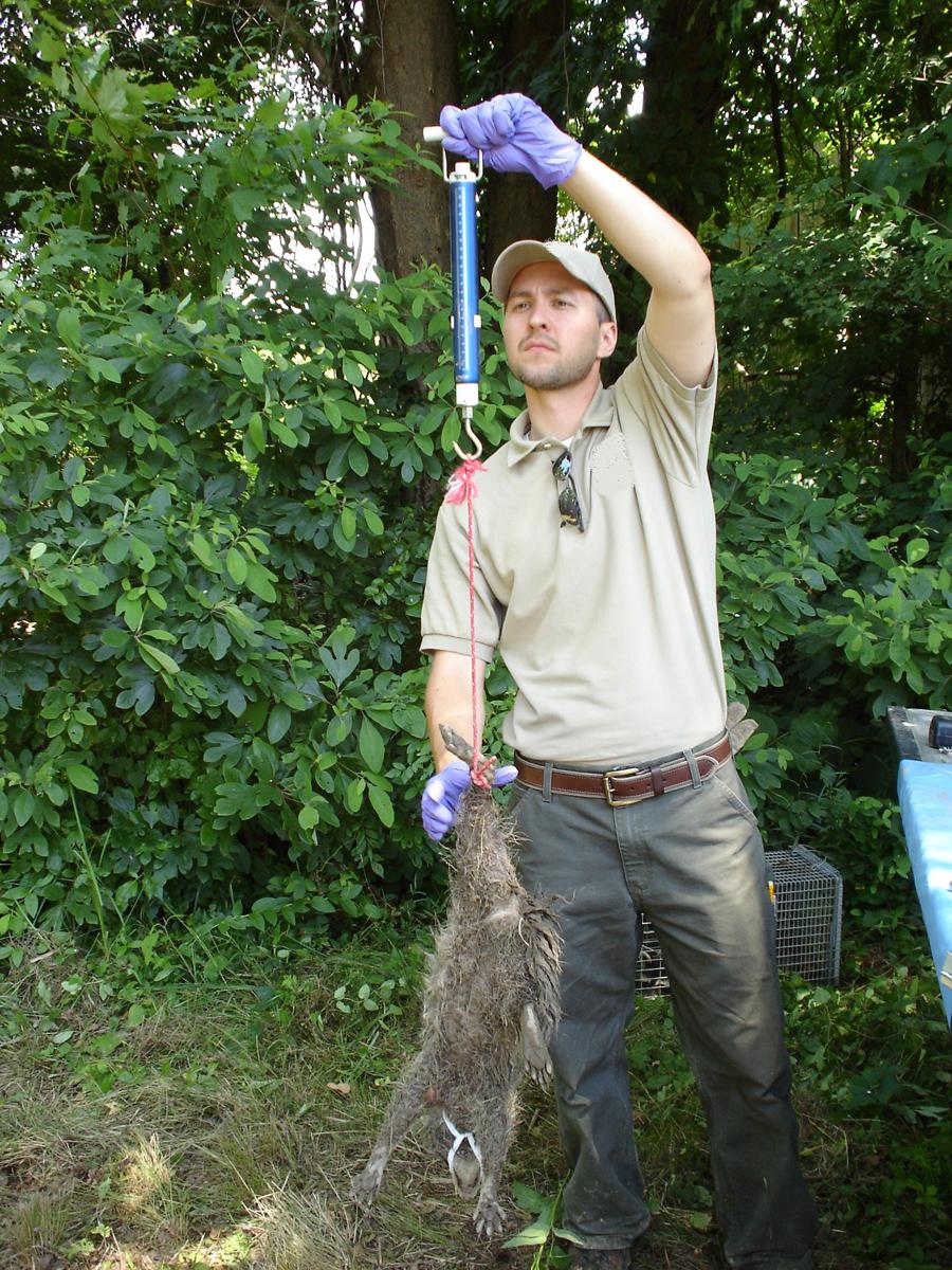 Chad weighting raccoon