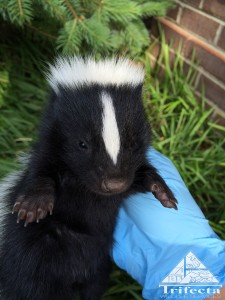 A juvenile striped skunk captured in Lexington KY