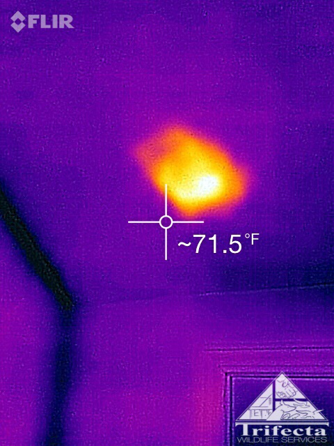 Thermal image of a raccoon with litter of kits behind drywall